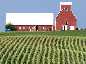 corn field and red barns